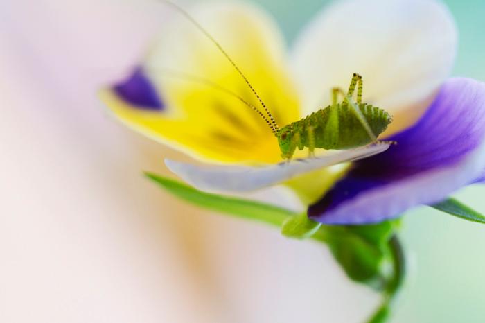 """sprinkhaantje - Er zitten weer veel sprinkhaantjes in onze tuin. Ze eten graag van de bloemetjes en vooral viooltjes zijn erg lekker. <img  src=""""/imag"""