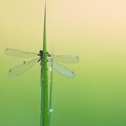 Libelle in firs ochtendlicht