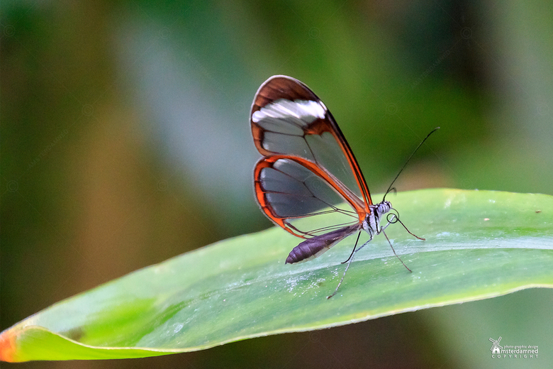 Vlinders aan de Vliet - De glasvlinder blijft altijd heel bijzonder om te zien met zijn doorzichtige vleugels. Deze is gefotografeerd bij Vlinders aan