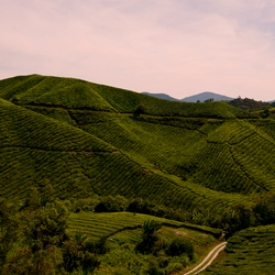 Thee plantage Cameron Highlands