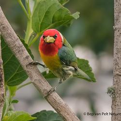 Roodkopbaardvogel (Eubucco bourcierii)