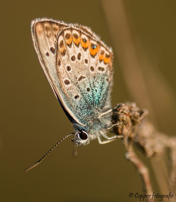 Zoomdag Heino: Heideblauwtje