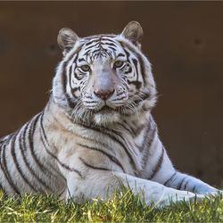 witte tijger 10