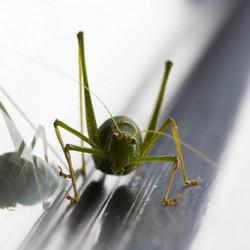 Reflecting Grasshopper