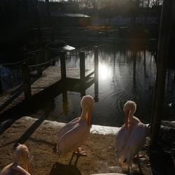Pelikanen met het zonnetje op het water.