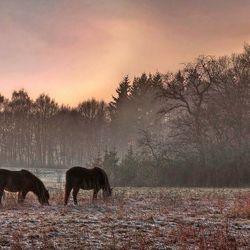 paarden in de avond