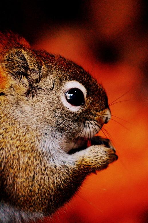 Onze Squirrel aan huis - Opeens was hij daar... al jaren geen eekhoorns meer gezien in het bos, maar nu is hij er weer! Zijn winterslaap houdt hij in