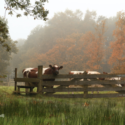 Koeien in de wei met mist.