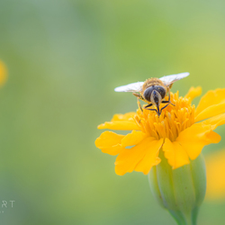 Praying Bee