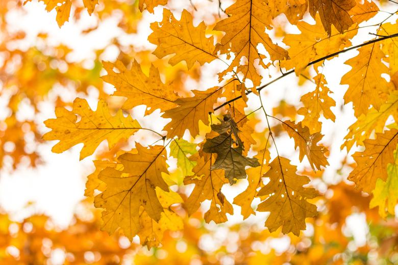 Gele herfstbladeren - Prachtig gekleurde herfstbladeren in de bossen van Rhenen.