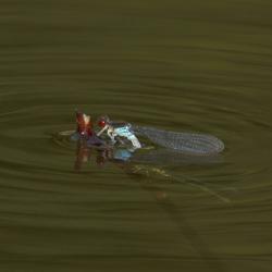 Het liefdesspel van waterjuffers