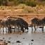 zebra's op pad