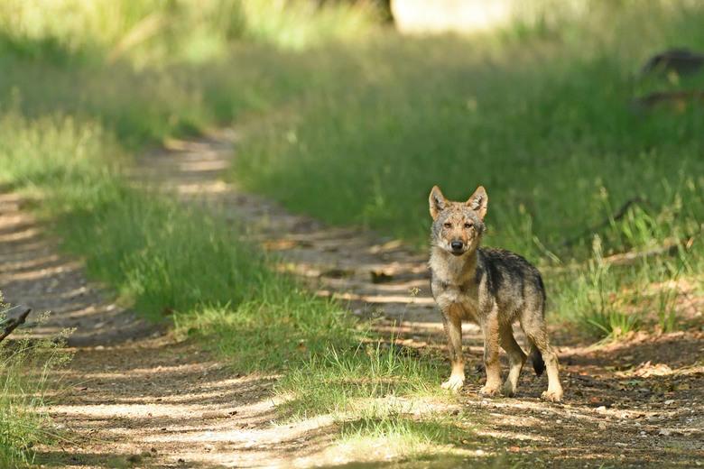 018 .2_00001_01 - Tijdens een wandeling op de Veluwe stonden wij plotseling oog in oog met een wolven familie waar dit er één van is.