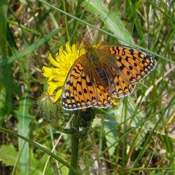 vlinder op ameland