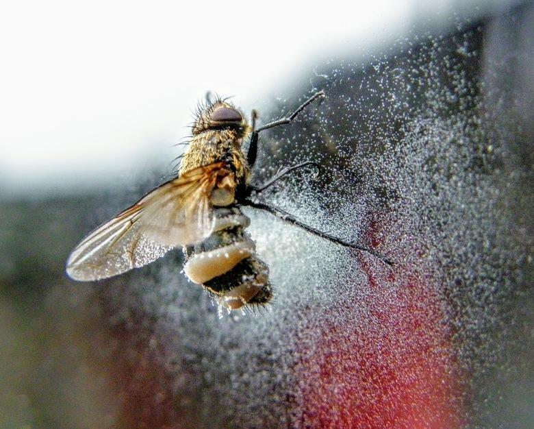 vlieg - Deze rare vlieg zit tegen ons achterraam geplakt er zit een witte substantie rond om hem heen we hebben geen idee hij is dood.