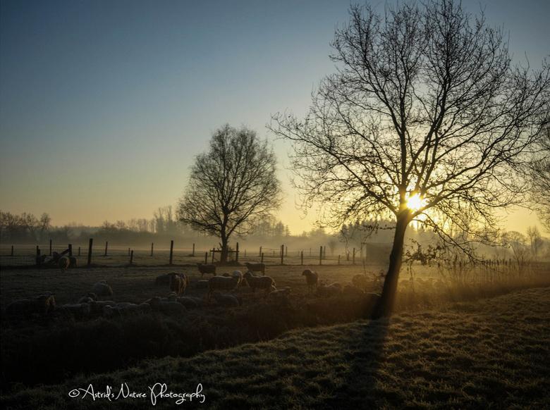 Schaapjes in de morgen - Koude morgen in België. Zon net wakker.