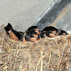 nest met boerenzwaluwen