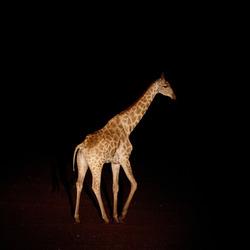 Giraf bij nacht