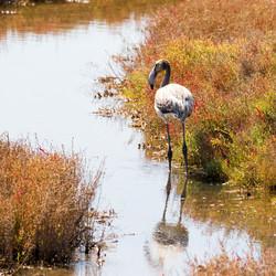 Eenzame flamingo