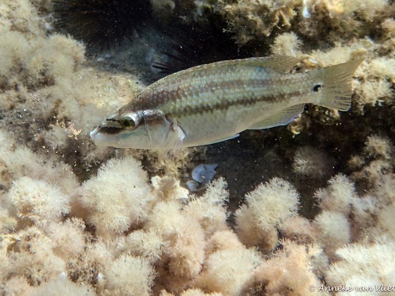 Grijze lipvis (Symphodus cinereus) - Deze lipvis verblijft bij voorkeur op zandbodems bij zeegrasvelden. Maar ze komen ook voor op rotsbodems maar dan