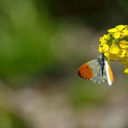 Oranje koning