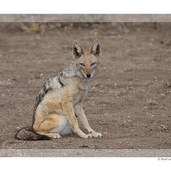Zadeljakhals, Zuid Afrika