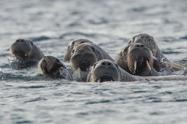 Walrussen - Familie Walrus maakt een uitstapje met de kleine....foto gemaakt in Spitsbergen.