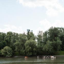 Koeien zoeken afkoeling in het water