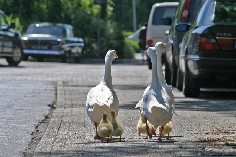 Jonge gansjes aan de wandel - .