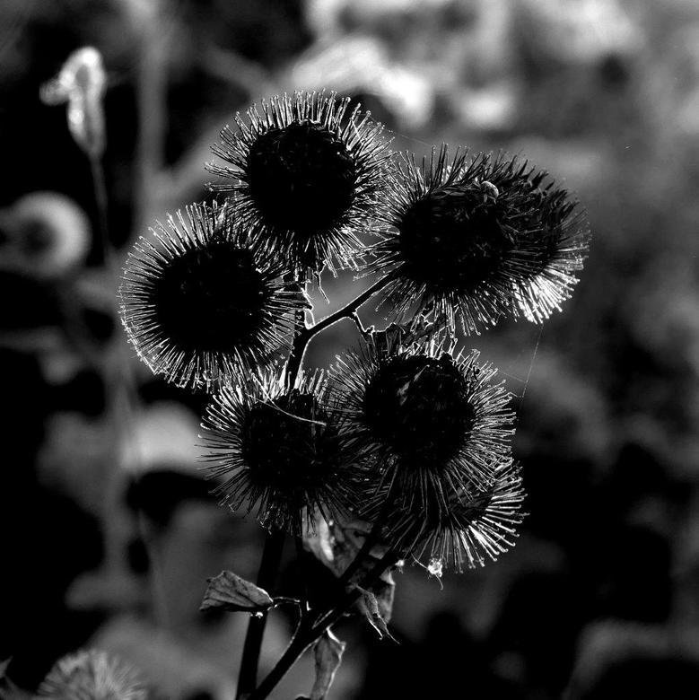 Bloem zwart-wit tegenlicht - Deze bol, bewerkt met extra contrast en als zwart-wit uitgevoerd vond ik zelf een mooier resultaat t.o.v. een wat standaa