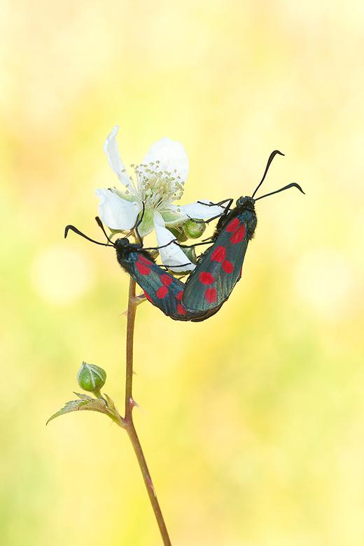 Love is all around! - Deze Sint-jansvlinders hadden een mooi plekje gevonden om de liefde te bedrijven.<br /> <br /> Iedereen een fijn weekend gewen