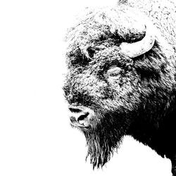 Amerikaanse Bizon (Yellowstone)