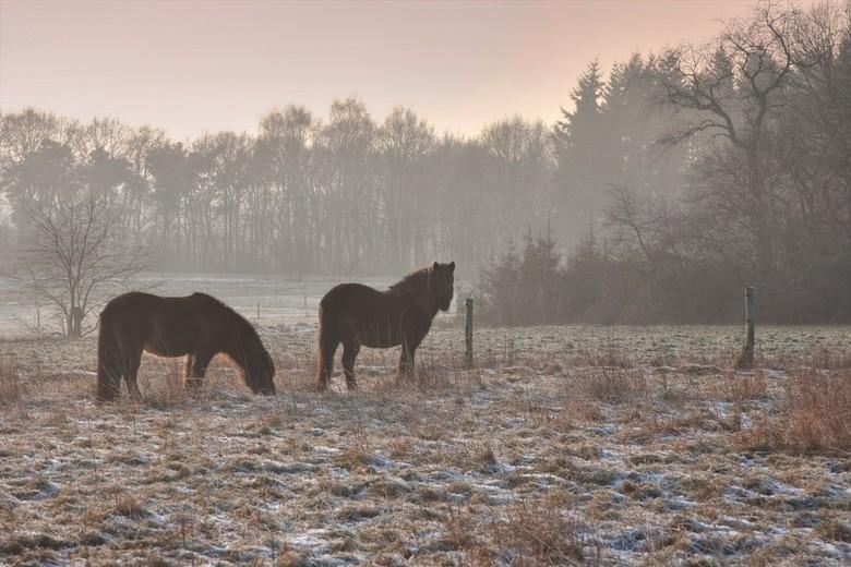 paarden tegen de avond - Paarden op de Veluwe bij Loenen.