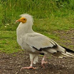 Vogel serie 186 Aasgier.