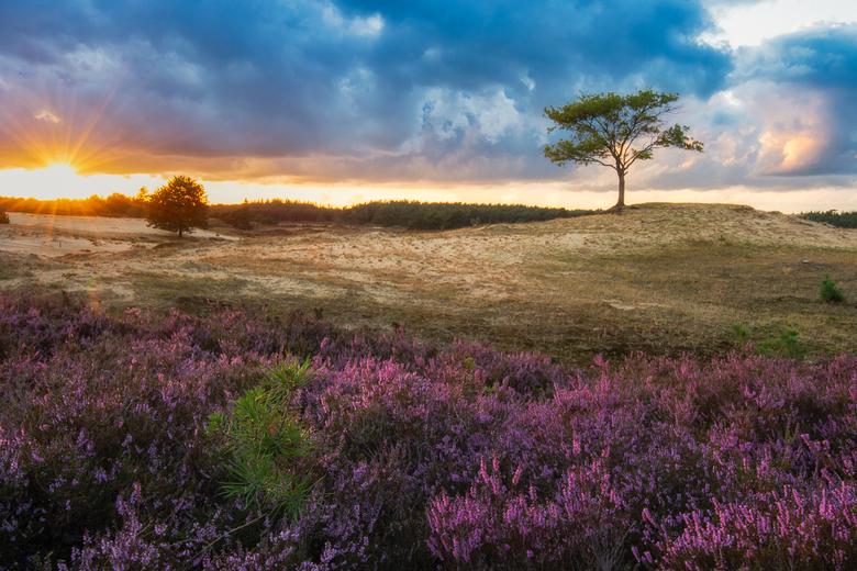Heide veld..... - Veel dode hei na de droogte van vorig jaar maar toch ook weer nieuwe aanwas en heide die het overleeft heeft.......(Appelscha Aeking