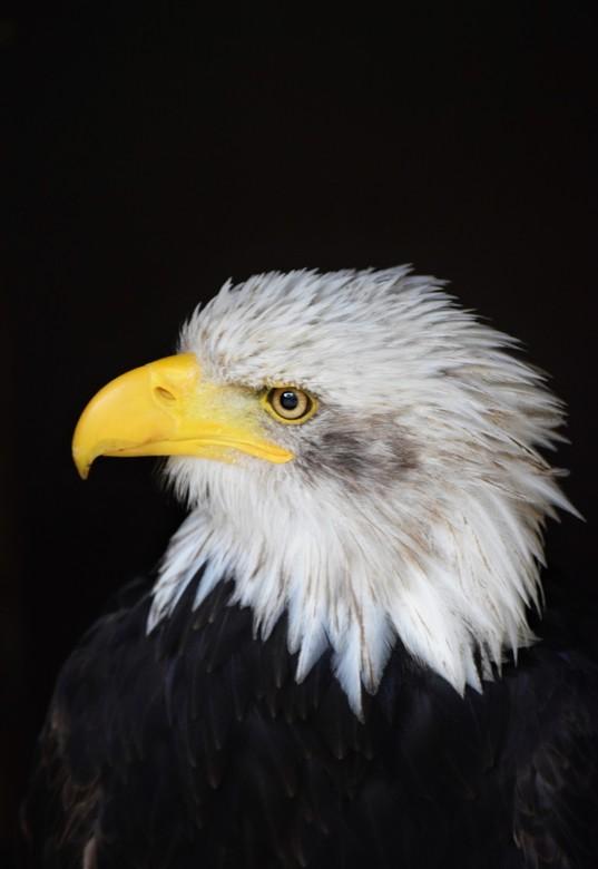 Amerikaanse zeearend - Prachtig beest!