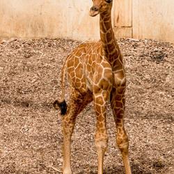 Jong girafje
