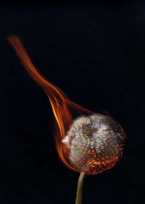 Brandende paardenbloem close-up - Altijd al willen weten hoe het er uit ziet als je een pluizende paardenbloem in brand steekt? Nou zo dus..
