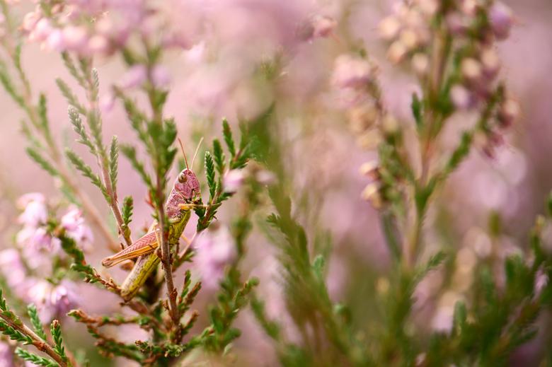 Roze sprinkhaan - Het schijnt een zeldzaamheid te zijn, maar toch kunnen spotten: de roze sprinkhaan