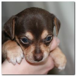 Chocolade puppy