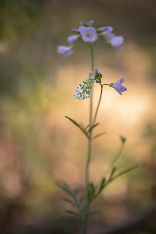 Seasons first... - Maandag begint de herfst, maar hier nog een foto van begin lente. De eerste vlinderfoto van het seizoen, buiten de gebruikelijke ov