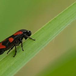 Bloedcicade (Cercopis vulnerata)