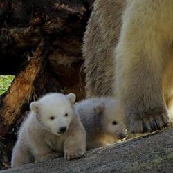 Jonge ijsbeertjes