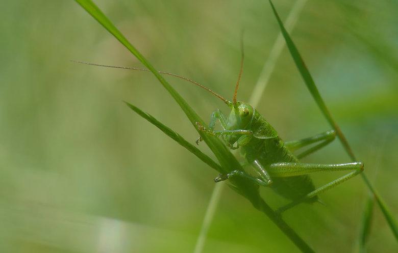 Phaneroptera Falcata. - Het is een makkelijk te herkennen soort omdat de kleur altijd grasgroen is en de vleugels zeer ver uitsteken; ze zijn bijna tw