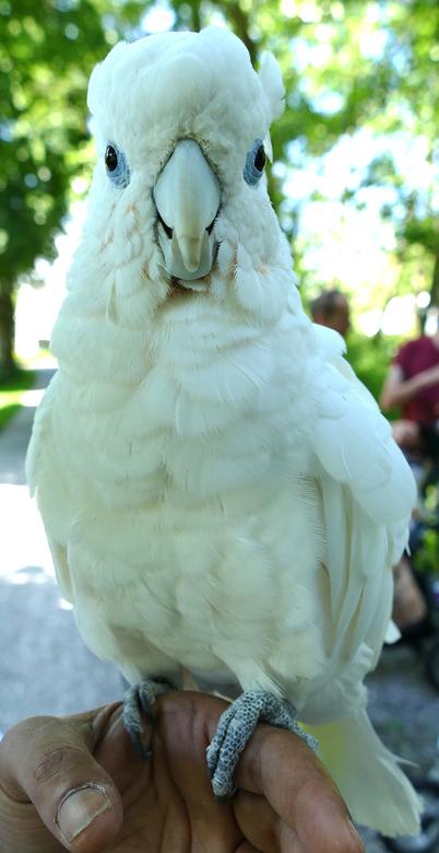 Papegaaienwandeling Zoetermeer 27-5-2017: Ducorps-Kaketoe Nigel (2007).
