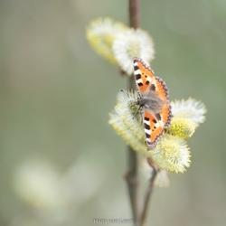 Vlinder (1 van 1)