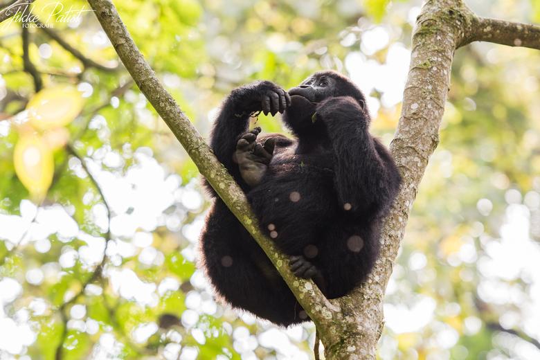 Catching the Sunlight - Deze jonge berggorilla was heerlijk aan het genieten van de eerste zonnestralen. Voor mij rustte nog maar één taak en dat was