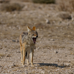 Jakhals @Kalahari Desert Botswana