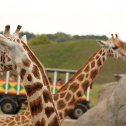 Giraffes gekruist