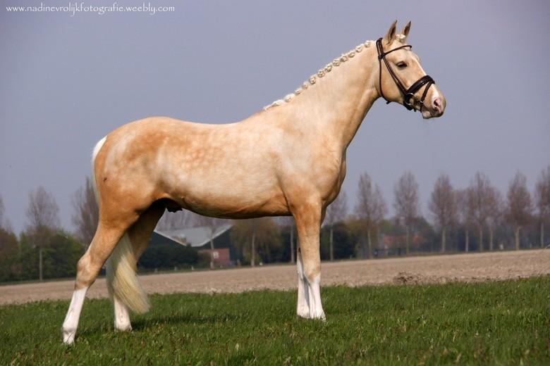 paard - 1e keer een paard voor men lens.. Luca S .. palomino hengst